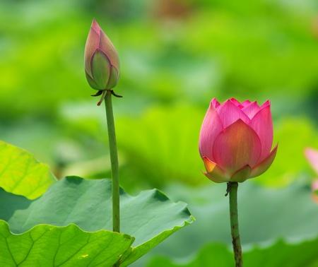 lotus leaf: lotus flower