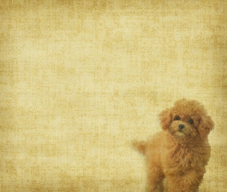 vintage wallpaper background with toy poodle photo