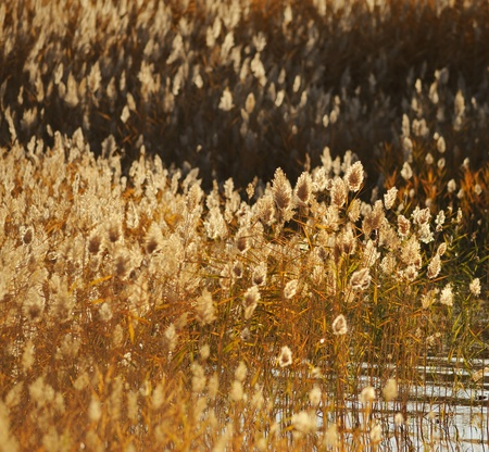reed stalks in the swamp against sunlight. Stock Photo - 8414268