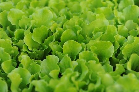 healthy lettuce growing in the soil   photo