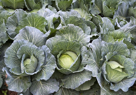 full grown: head of cabbage