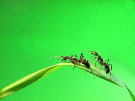pismire: ant on grass                   Stock Photo