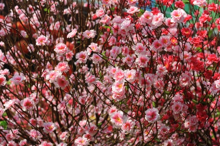 peach blossom flower.apricot-tree branch in bloom photo