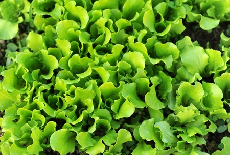 lettuce growing in the soil   photo