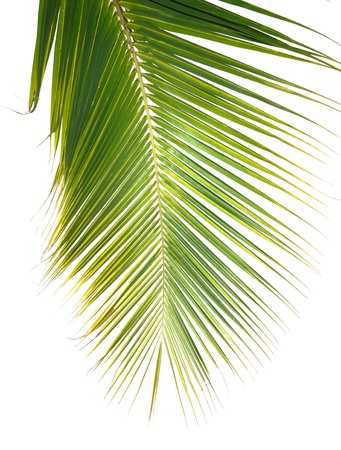 palm leaves: green palm leaf Stock Photo