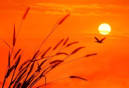 bulrushes against sunlight over sky background in sunset  photo