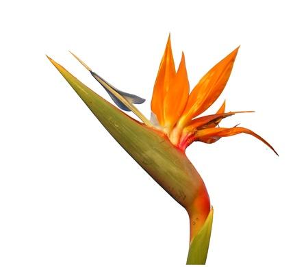 bird of paradise flower isolated  photo