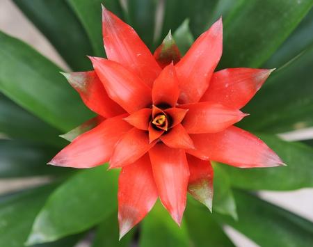beautiful guzmania magnifica flower  photo
