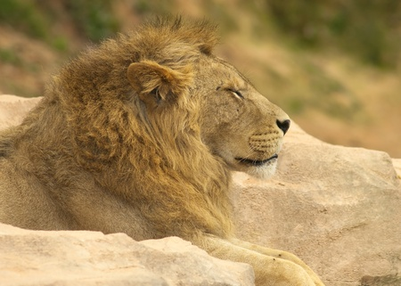 cara leon: rinoceronte