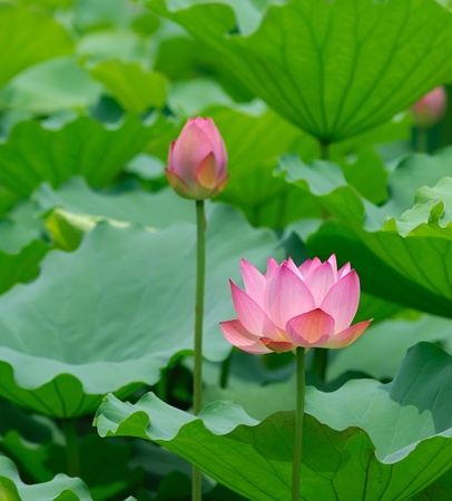 lotus bloom in the pond photo