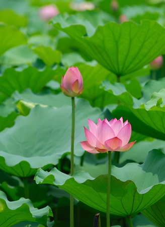 lotus bloom in the pond Stock Photo - 9621876