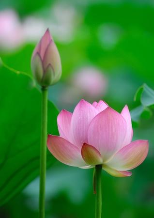 flor de loto: flor de loto en el estanque