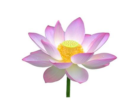 beautiful lotus isolate photo