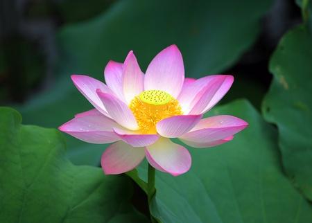 flor loto: flor de loto