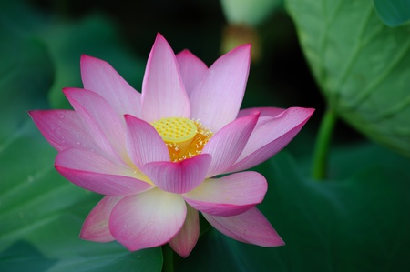 lily pad: lotus flower