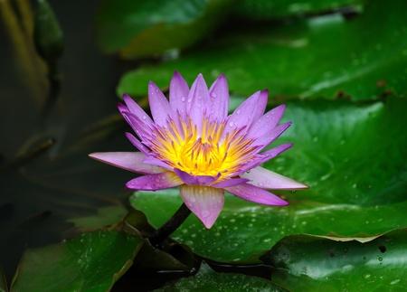 calyxes: lotus flower