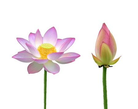nelumbo nucifera: lotus flower