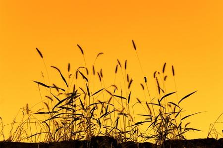 bulrushes: bulrushes against sunlight over sky background in sunset Stock Photo