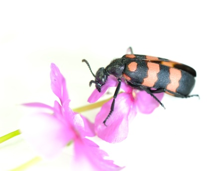 clambering: beetle on flowers Stock Photo