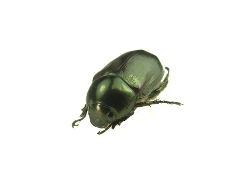 spurred: scarab beetle isolated on white Stock Photo