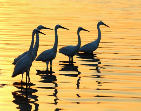 animal leg: Egrets play in the water