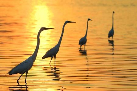 jolie pieds: Aigrettes jouer dans l'eau