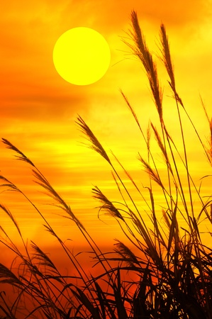 rise fall: reed stalks in the swamp against sunlight. Stock Photo