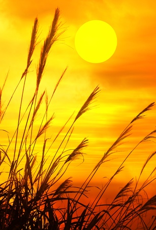 scrub grass: reed stalks in the swamp against sunlight. Stock Photo