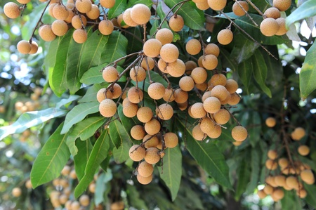 asian produce: Longan on the green tree