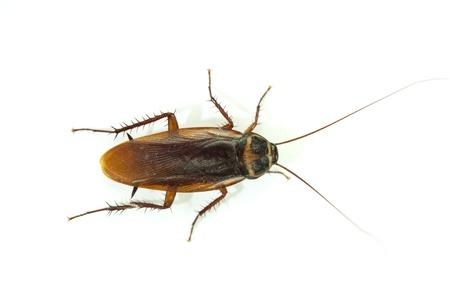 plaga: cucaracha sobre fondo blanco.
