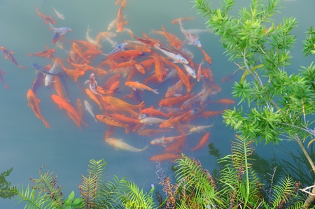 koi pond: koi fishes in the pond Stock Photo