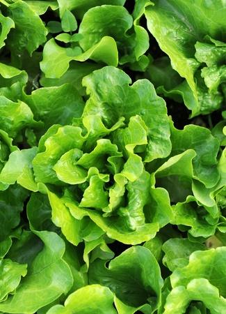 chlorophyll: Fresh salad lettuce  Stock Photo