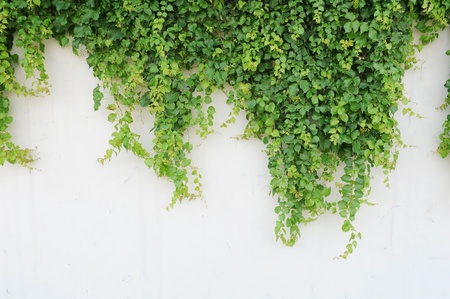 green wall: ivy leaves isolated on a white background
