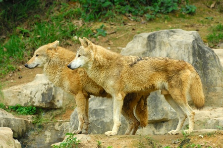 Two Wolves in the Wild photo