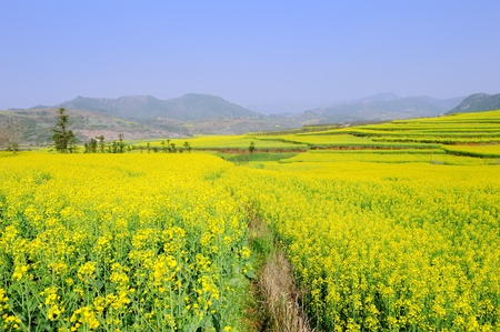 Rapeseed field in summer with blue sky  photo
