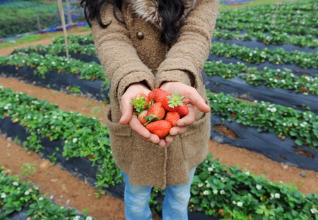 strawberry lie in female hands photo