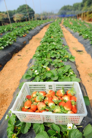 strawberry in the farm photo