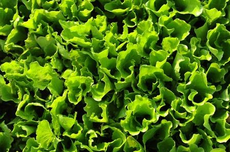 salad vegetable Stock Photo - 11318002