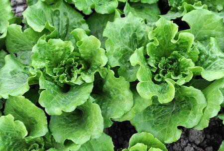 salad vegetable photo