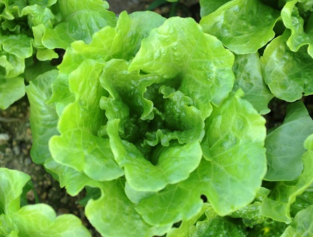 cabbage patch: healthy lettuce growing in the soil