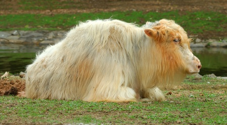 Close up Tibetan Yak portrait photo