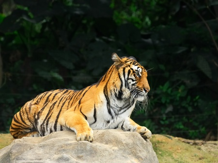Close up of Amur Tiger  photo