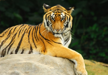 the amur: Close up of Amur Tiger