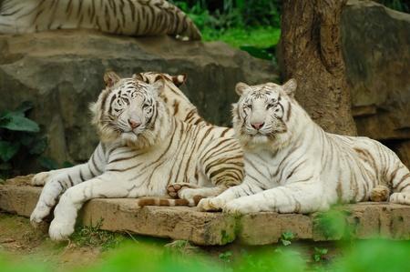 extinct: white tiger