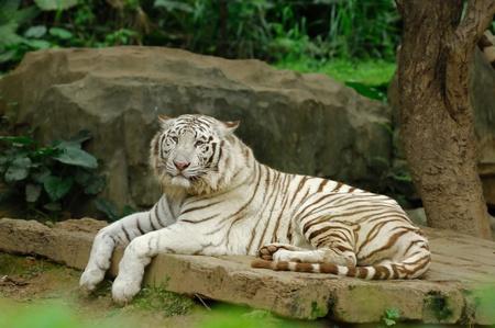 panthera tigris: white tiger