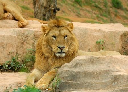 Male lion  photo