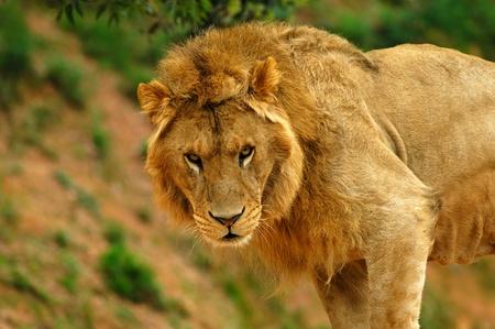 cara leon: Le�n macho