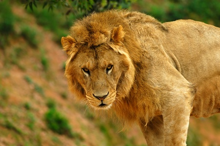 Male lion  photo