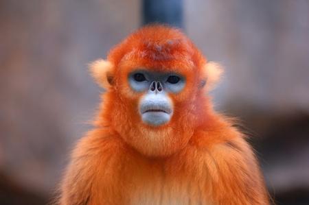 single animal: Closeup of a monkey Stock Photo