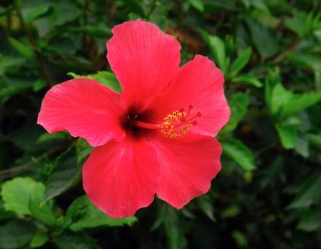 five petals: Closeup of Chinese Hibisci Rosae-Sinensis Flower